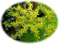 アカプルコゴールドの花