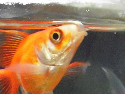 金魚さんイッキ飲み