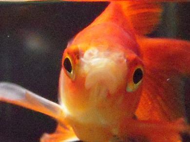 不機嫌な金魚さん 1