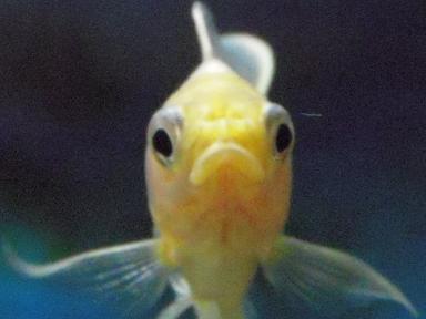 不機嫌な金魚さん 2