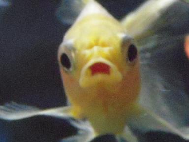 不機嫌な金魚さん 3