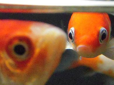金魚のアップ お し ま い ^^; 金魚のフン   出目金魚ぶろぐ