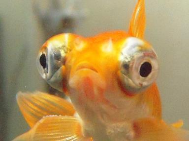 金魚さん ] | 出目金魚ぶろぐ - ...