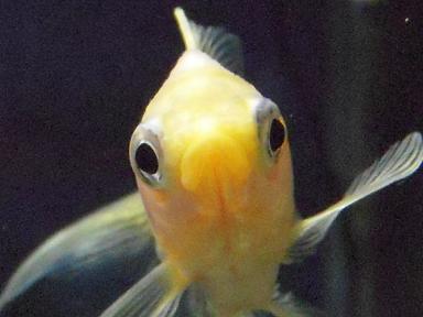 おすまし白金魚さん