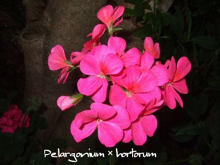 Pelargonium × hortorum.JPG