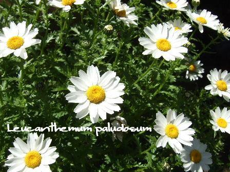 Leucanthemum paludosum.JPG