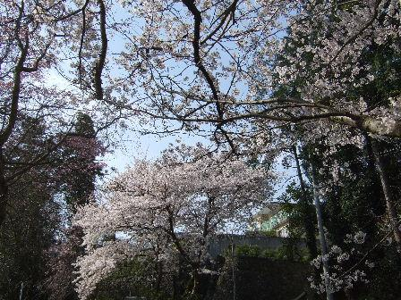 2010.4.7桜.JPG