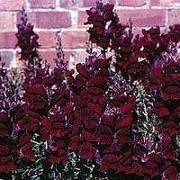 Rudbeckia x hirta Cherry Brandy 50-2.49.jpg