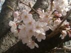 春といえば「桜」です!