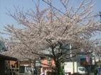 見事な桜ですね!