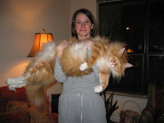 ノルウェージャンフォレストキャット (Norwegian Forest Cat