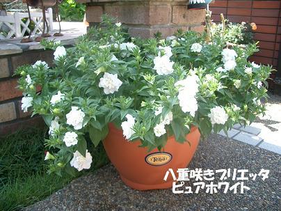 CIMG4665_buri1.JPG
