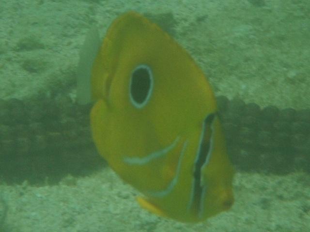 干潮、水深2メートル弱♪、今日は、「大漁」だ!、少し珍しいチョウチョウウオ4種。その4、ウミヅキチョウチョウウオ(チョウチョウウオ科)。名の由来は不明。