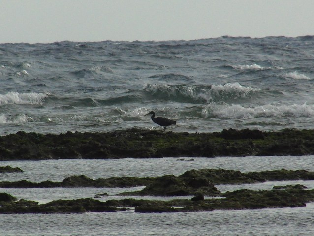「擬・春」のような、快晴、に誘われて、海へ♪、クロサギ(サギ科・黒色型)、お久しぶりです。