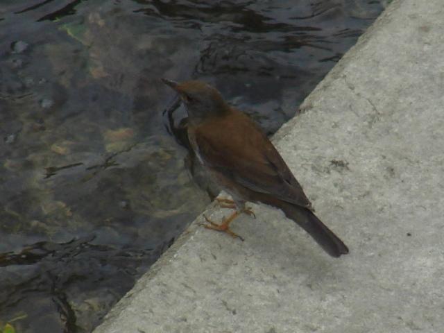 夜中降り続いた雨で増水した放水路の泥、餌探しにあらわれた、シロハラ(ツグミ科)、ひとり。横顔。