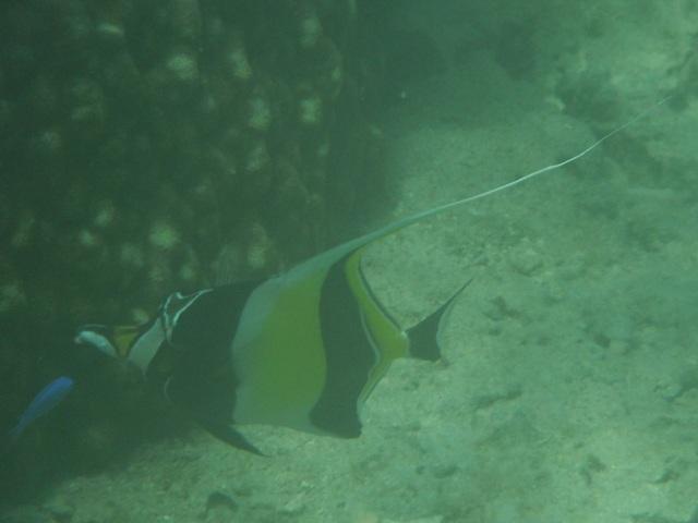 干潮、水深2メートル弱♪、今日は、「大漁」だ!、ツノダシ(ツノダシ科)。「角」の先端まで、写った!