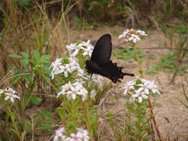 海岸植物、ハマボッス(サクラソウ科)、と、これはジャコウアゲハ?あるいは、ベニモンアゲハ?、いずれもアゲハチョウ科。いずれもウマノスズクサ科を食草とする「毒蝶」。