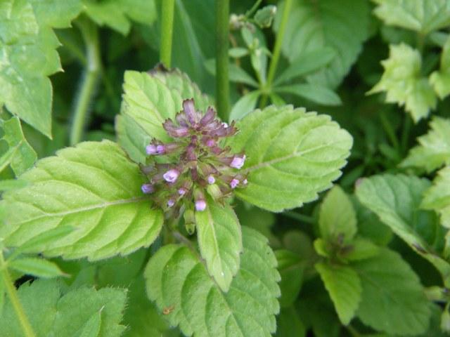 トウバナ(シソ科)。薄紅色のごく小さな花、なかなか写りにくくて・・・。