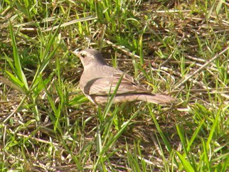 これが、マミチャジナイ(ツグミ科)、ということにし・た・鳥だ!、かなり接近。ツグミよりは、羽の茶色みが足りない。