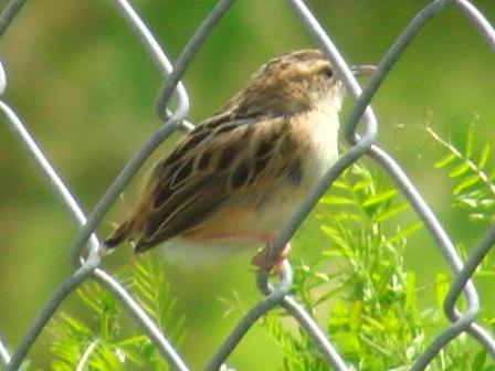 夏の鳥♪、セッカ(ウグイス科)、登場!、飛ぶとき鳴かなかったから、これはメスなのだろうか?