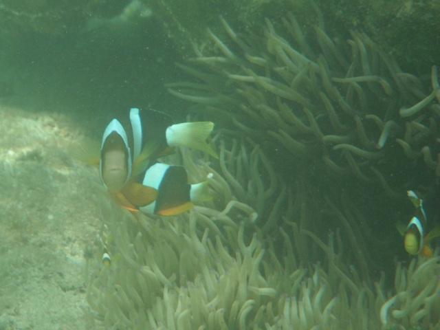 干潮、水深2メートル弱♪、今日は、「大漁」だ!、去年は一度も見ることができなかった、クマノミ(クマノミ科)、発見♪、イソギンチャクから離れないから、ゆっくり撮影できる。