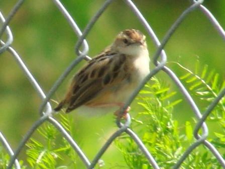 夏の鳥♪、セッカ(ウグイス科)、振り返る。見れば見るほど、小さい。スズメより、ずっと小さい?