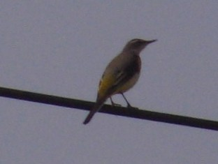電線上キセキレイ(セキレイ科)。「意外に」、サイズが小さいので、他の鳥に紛れてしまいそうだが、尾が長いのでわかる。