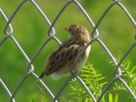 夏の鳥♪、セッカ(ウグイス科)、向こうをむく。羽毛の毛羽立ち方が、「子供」っぽくも思えるが、秋にも、「子供」を見たぞ?