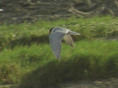 コアジサシ(カモメ科)、「飛翔」、その3:翼の表はこんな風に灰色がかる。下から見ると、内側はあくまで白いから、「違う種?」かと思ってしまう。