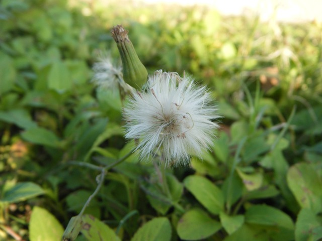 「耳かき」のような、綿毛。ウスベニニガナ(キク科)。
