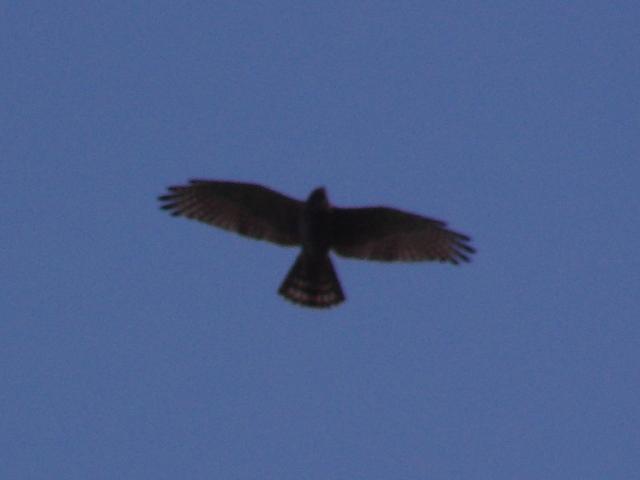 お、上空を旋回する猛禽類、ミサゴ(タカ科)。