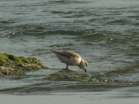 シロチドリ(チドリ科)。これは「留鳥」、つまり、この島で、営巣・育雛、する。