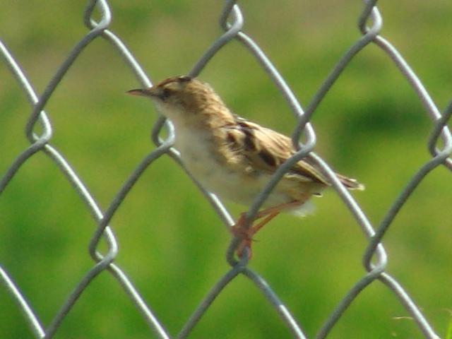 夏の鳥♪、セッカ(ウグイス科)、今にもとび立とうとしている!