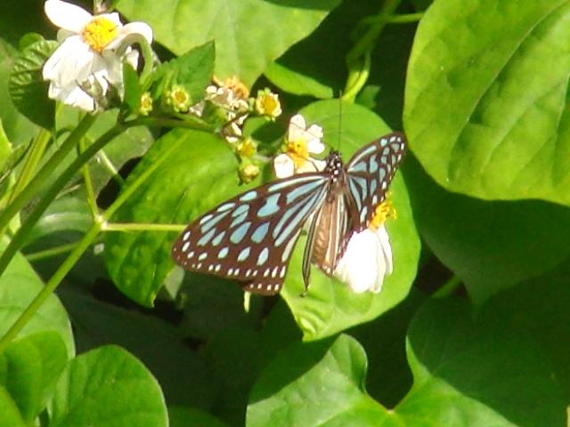 リュウキュウアサギマダラ(マダラチョウ科)。これは、少し山間に入らないと、見られない。シロノセンダングサで吸蜜中。