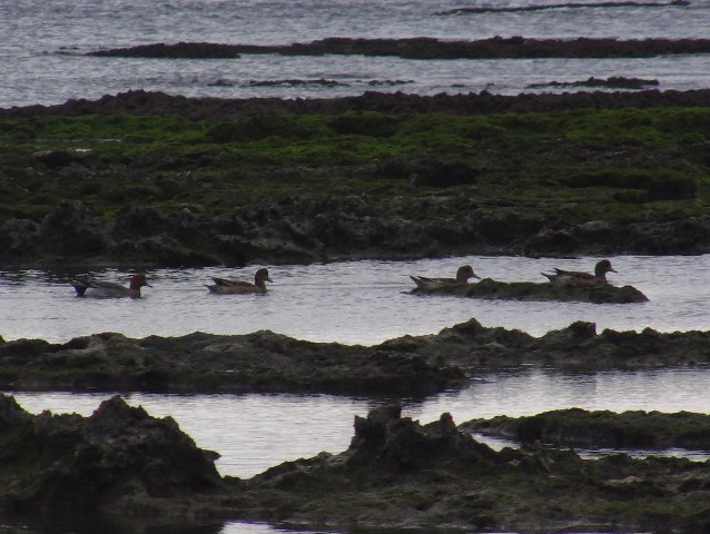 「新種」発見♪、ほぼ、等間隔の「行列」。海辺のヒドリガモ(カモ科)。