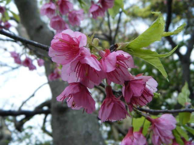 これぞ、間違いなく、緋寒桜(ひかんざくら)、プルヌス・カムパヌラータ(Prunus_campanulata_Maxim.)