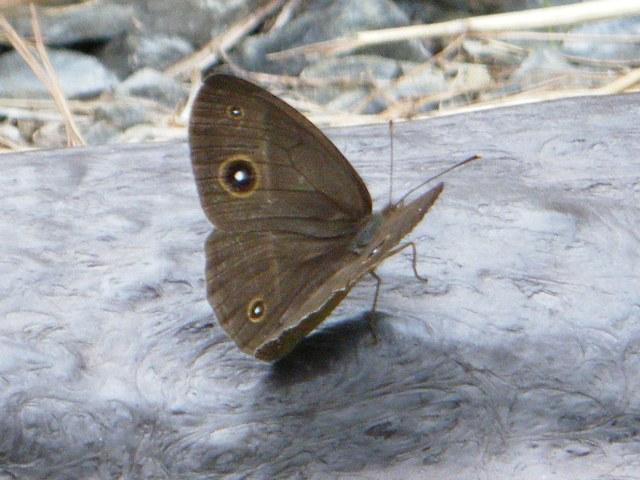 リュウキュウウラナミジャノメ(タテハチョウ科)、だったかな?、羽を広げて表の面が見えるのは、珍しい。