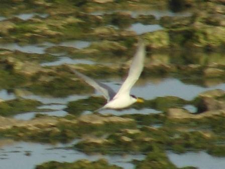 コアジサシ(カモメ科)、「飛翔」、その4:ほら、翼の裏は、こんなに白い。ここから急降下して、まさに「鯵」を「刺す」!