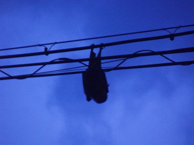 クビワオオコウモリ、だったかな?、もちろん「夜行性」だから、めったにカメラに収まることは、ない。夕刻、出動開始。
