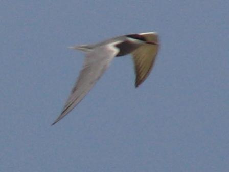 飛びかうカモメは〜♪♪、「夏鳥」だ!、ベニアジサシ(カモメ科)。海。もう一種類、翼がもう少し白い、コアジサシ、かも知れないのもいたのだが、写真が撮れなくて・・・。