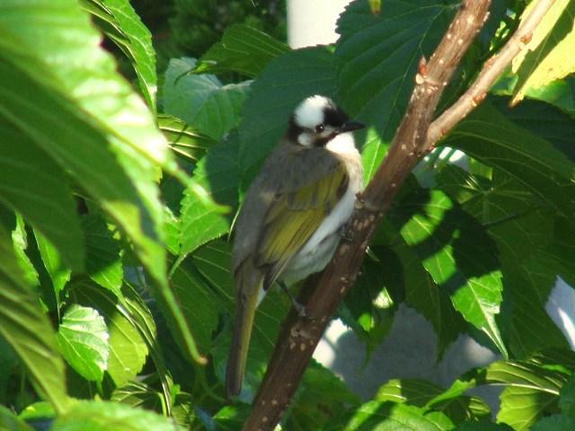 やっと晴れたから、「鳥見」だ♪、シロガシラ(ヒヨドリ科)。