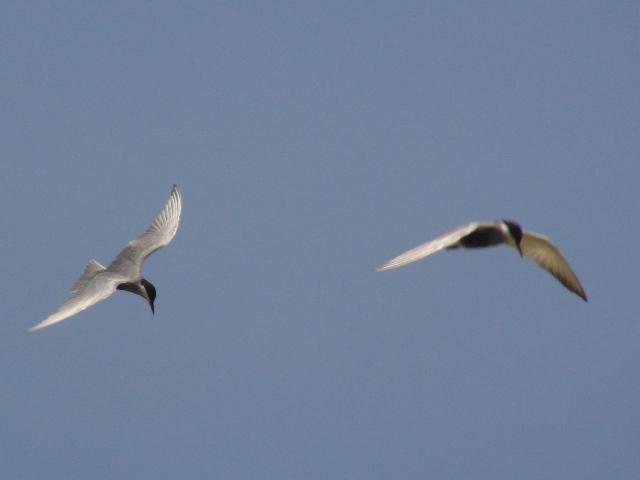 飛びかうカモメは〜♪♪、「夏鳥」だ!、ベニアジサシ(カモメ科)。海。クロサギ(白色型)!、が、魚を捕らえると、それを「狙って」、集まってきた二羽。