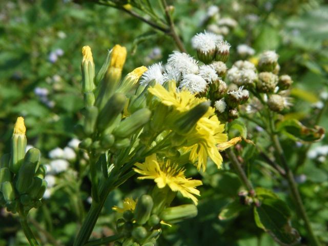 すっかり「暖かく」なった、今日も、一斉開花、オニタビラコ(キク科)、背後は、カッコウアザミ(キク科)。