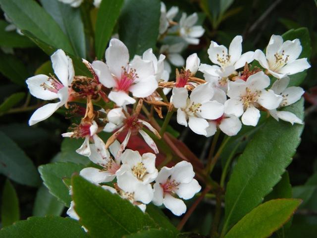 「新種」発見♪、これが方言名「てかち」、柳宗悦「手仕事の日本」にも出てきた、その樹皮から黄色の染料をとる、オキナワシャリンバイ(バラ科)。
