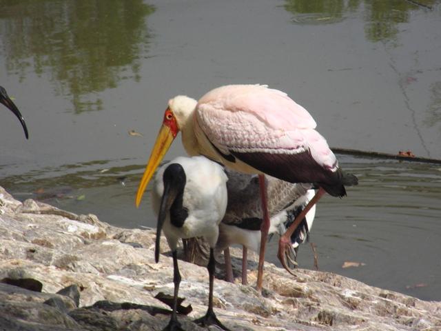 「お約束」通り、「やんばる」に行ってきた。一年ぶりの名護の自然公園、今回はちゃんと、鳥たちの名前もメモしてきたから・・・。顔とくちばしがオレンジの、アフキカトキコウ(コウノトリ科)、手前の嘴黒、が、アフリカクロトキ(トキ科)。