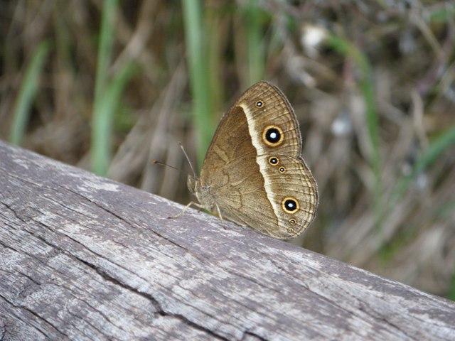 リュウキュウウラナミジャノメ(タテハチョウ科)、だったかな?、林の中などの日陰でよく見かける。これは、真横から。