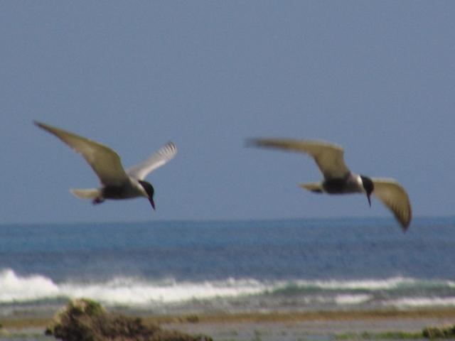 飛びかうカモメは〜♪♪、「夏鳥」だ!、ベニアジサシ(カモメ科)。海。ほら、ちゃんと、「波頭」も写った。