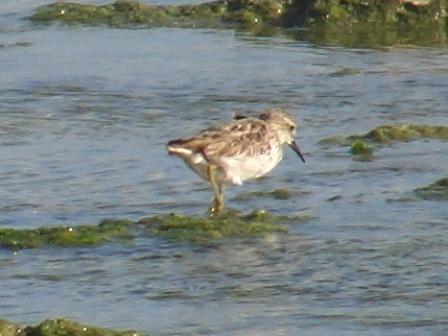 チドリ並みの小さなシギ類。トウネン(シギ科)、だろうか?、たった一羽だけ、この干瀬にいる。「冬鳥」なんだけど、ま・だ・旅立っていない、のか?、それとも、も・う・、帰って来たのか?