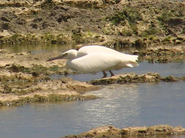 これは「留鳥」です!、クロサギ(白色型・サギ科)。姿勢を低くして、魚をねらう。魚食性海鳥、だけに、池にいるサギ類より、動きが「活発」?