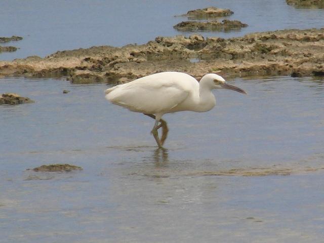これは「留鳥」です!、クロサギ(白色型・サギ科)。クロスした脚も、なにか、「がっしり」している?、たしかに、よく、歩・く・。